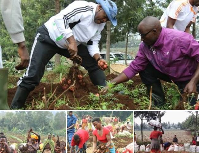 Le Président Nkurunziza récolte des pommes de terre avec des agriculteurs …