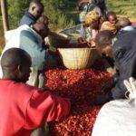 La Confédération Nationale des Associations des Caféiculteurs du Burundi (CNAC) informe d'une production de café à venir de plus de 15.000 tonnes