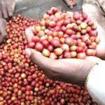 Campagne-café: le Burundi attend plus de 15000 tonnes de café cerise
