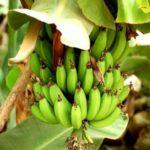 Burundi : une maladie bactérienne affecte des plantations de bananes
