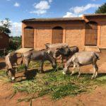 Visite en grandes pompes d'un important projet d'élevage d'ânes, financé par l'Ambassade de France au Burundi, le message en est-il subtil ?