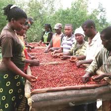La production du café pour l'année 2018 a sensiblement augmenté (Déo Guide Rurema)