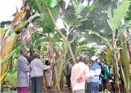 Valorisation de la banane : bientôt une unité de transformation de la banane en jus gazeux, bière et vin dans la région de Moso
