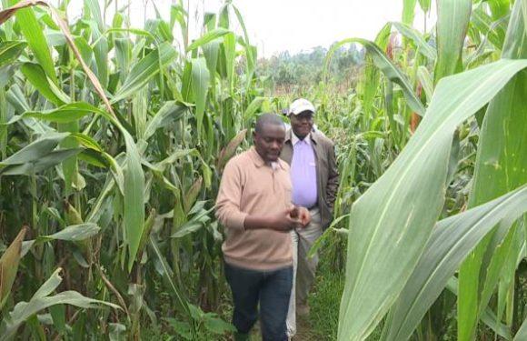 Matongo: 5000 hectares de maïs hybrides en passe d'être cultivés