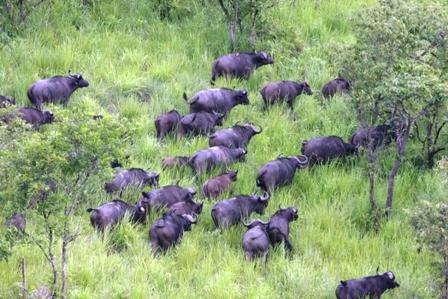 """Burundi : le parc national de la Ruvubu enregistre un mouvement de """"repeuplement des buffles"""" depuis fin janvier 2017"""