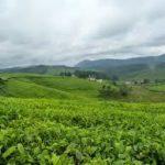 Le ministère de l'agriculture satisfait de la production caféicole
