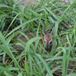 Le ministère de l'environnement réinstalle une gazelle dans la réserve de la Rusizi