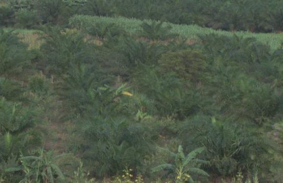 La Commune de Gisuru se dote d'une usine de transformation de palmiers à huile