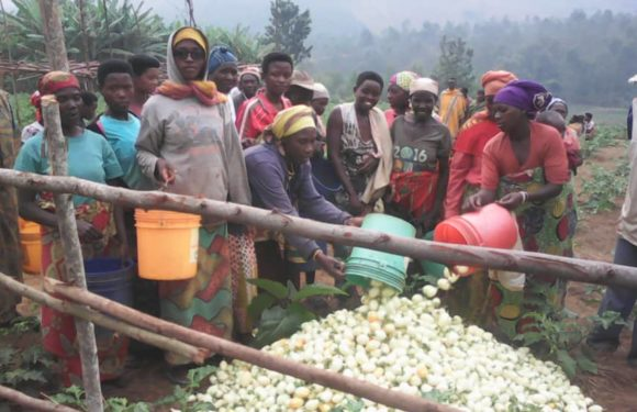 Burundi : Les  Imbonerakure,  Bakenyererarugamba, et Bagumyabanga de la coopérative Sangwe récoltent leurs aubergines, pommes et maracuja