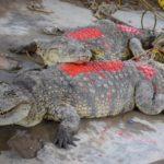 OBPE: remise de deux crocodiles au delta de la Rusizi