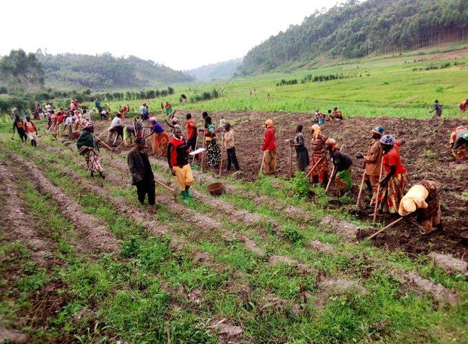 Bonne récolte de pommes de terre à NTARAMBO à KAYANZA / Burundi