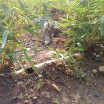 Planter 500 bambous par colline dans tout BUBANZA / BURUNDI