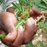 Burundi : Nouveau souffle pour la médecine traditionnelle par la force du COVID-19
