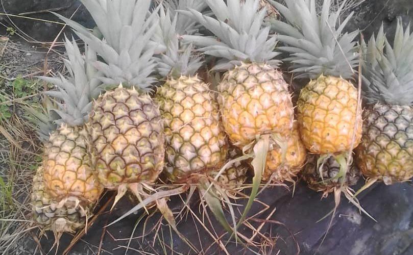 BURUNDI : Récolte des ananas à la coopérative SANGWE à colline KIVUMU / KIRUNDO