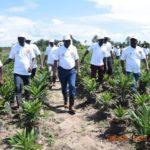 BURUNDI : Les plants de palmiers à huile de KINYINYA / RUYIGI