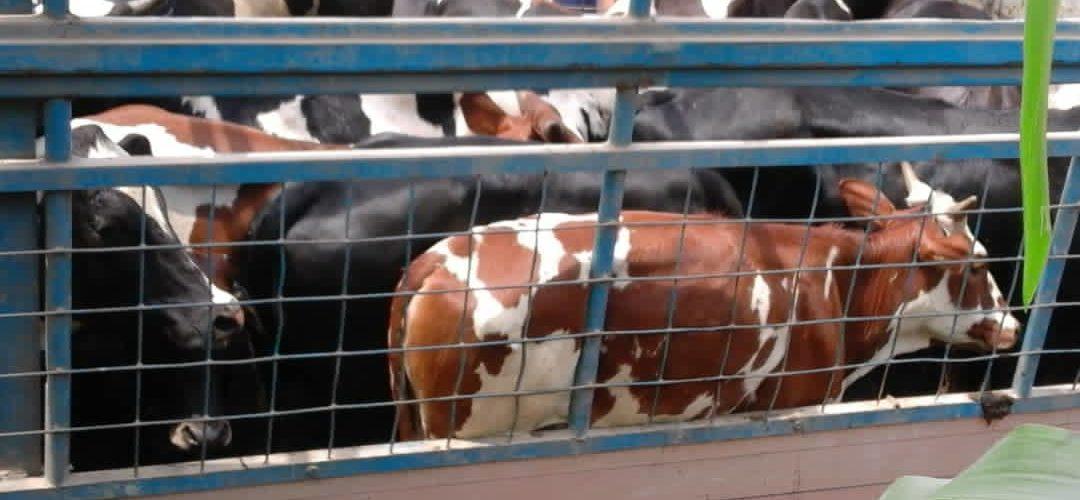 BURUNDI : 400 vaches de race améliorées distribuées à CIBITOKE