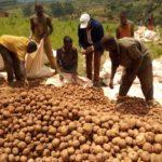 BURUNDI : Récolte de pommes de terre à KAYANZA