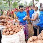 BURUNDI : Récolte de pommes de terre en commune GASHIKANWA à NGOZI
