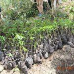 BURUNDI : ODECA - Planter 22.500 boutures de caféiers sur 11 ha à MUBAVU / RUYIGI