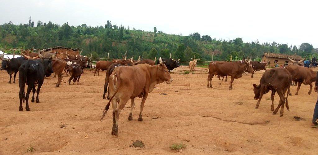 BURUNDI : Visite au Marché de bétail de KWIBUYE / MURAMVYA