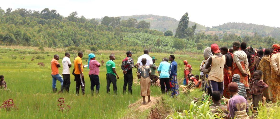 BURUNDI : Visite des champs rizicoles à MAKEBUKO / GITEGA