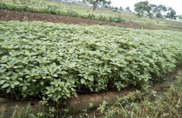 BURUNDI : Un planton cultivateur de LENGALENGA à NTAHANGWA / BUJUMBURA