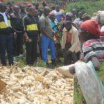 BURUNDI : Bonne récolte de maïs à la coopérative SANGWE BUSINDE / KAYANZA
