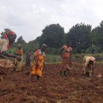BURUNDI : TRAVAUX DE DEVELOPPEMENT COMMUNAUTAIRE - Mise en terre de 200 kg de semis de haricot à NYAMURENZA / NGOZI