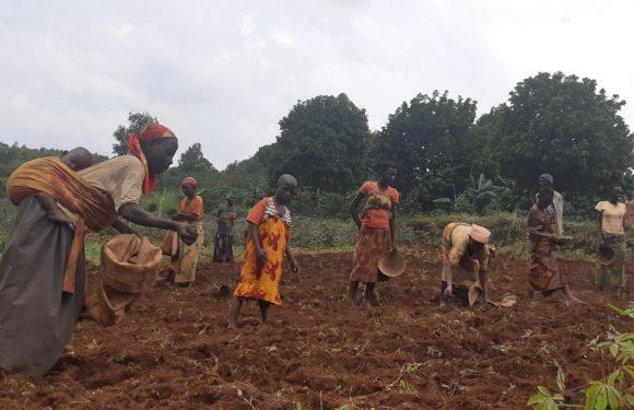 BURUNDI : TRAVAUX DE DEVELOPPEMENT COMMUNAUTAIRE – Mise en terre de 200 kg de semis de haricot à NYAMURENZA / NGOZI