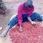 BURUNDI : Un caféiculteur de BUSIGA à NGOZI