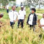 BURUNDI : TRAVAUX DE DEVELOPPEMENT COMMUNAUTAIRE - Récolter 15 tonnes de riz en colline KANSESA à BUGANDA / CIBITOKE