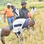 Muramvya/Marais de Mubarazi: la récolte du riz s'annonce bonne
