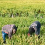 BURUNDI : Permission obligatoire pour exploiter les marais de NGOZI