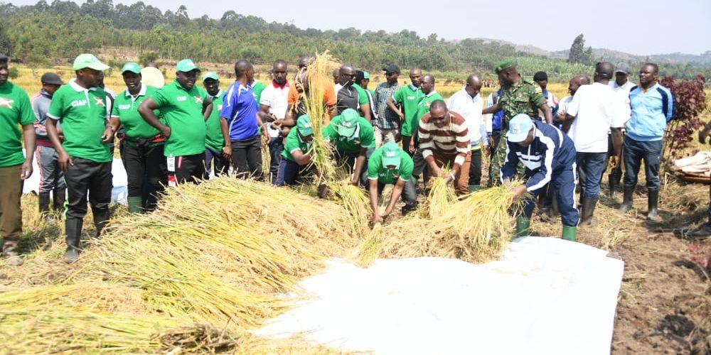 BURUNDI : TRAVAUX DE DEVELOPPEMENT COMMUNAUTAIRE – Récolte du riz dans la vallée de NYAGIHUNDO à MAKEBUKO / GITEGA