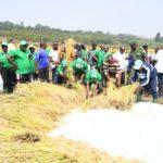 BURUNDI : TRAVAUX DE DEVELOPPEMENT COMMUNAUTAIRE - Récolte du riz dans la vallée de NYAGIHUNDO à MAKEBUKO / GITEGA