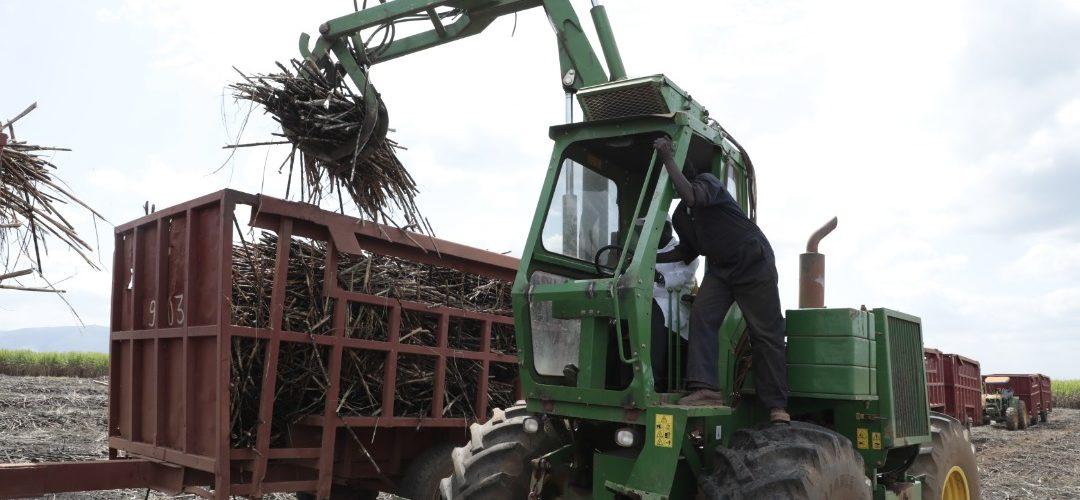 BURUNDI : La SOSUMO coupe des cannes à sucre à GIHOFI, BUKEMBA / RUTANA