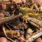 BURUNDI : Le BPEAE de KAYANZA appelle à ramasser et à brûler les criquets à BUTAGANZWA