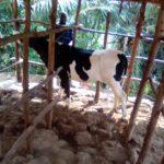 BURUNDI : Des éleveurs reçoivent des vaches à MUSIGATI / BUBANZA